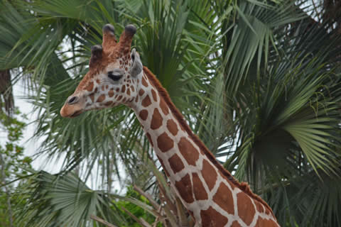 Reticulated giraffe at the Naples Zoo